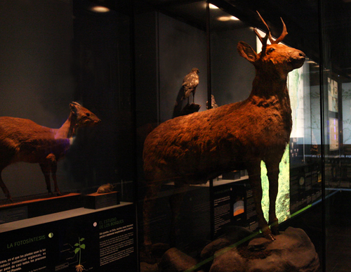 The huemul, one of Chile's national animals, in now in danger of extinction