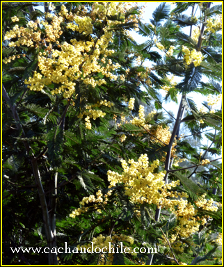 Aromo flowers in bloom, late August 2010 (photo M Snook for Cachando Chile)