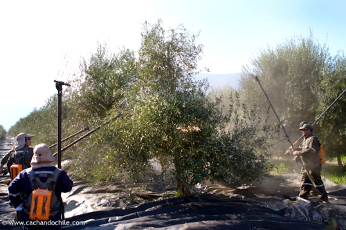 Hand harvesting olives for oil, Olave olive groves, Melipilla, Chile