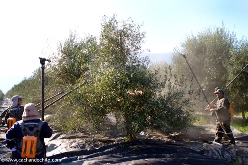 Hand harvesting olives for oil, Olave olive groves, Melipilla, Chile