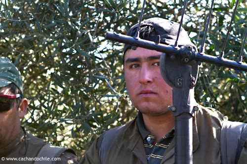 Olive harvester. Chile © 2011 Margaret Snook