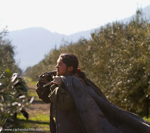 Women gather the olives in tarps. ©2011 Margaret Snook