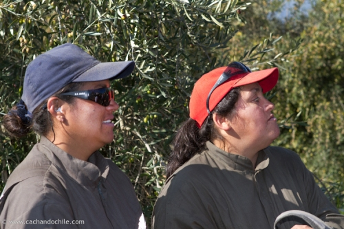 Olive pickers watching journalists try their job. © 2011Margaret Snook