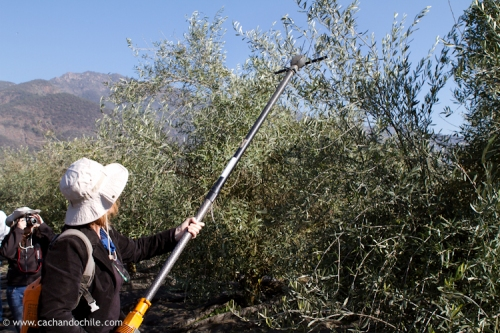 Margaret Snook picking olives with the olivium. ©2011 Margaret Snook