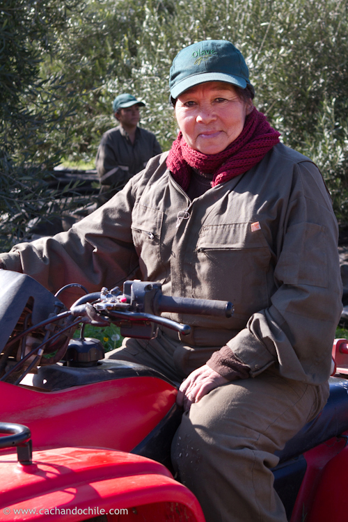 Gabriela on mini-tractor during olive harvest at Olave. ©2011 Margaret Snook